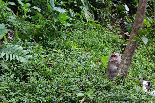 monyet di curug nangka