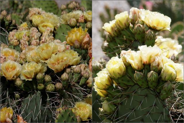 kwiaty opuncji
