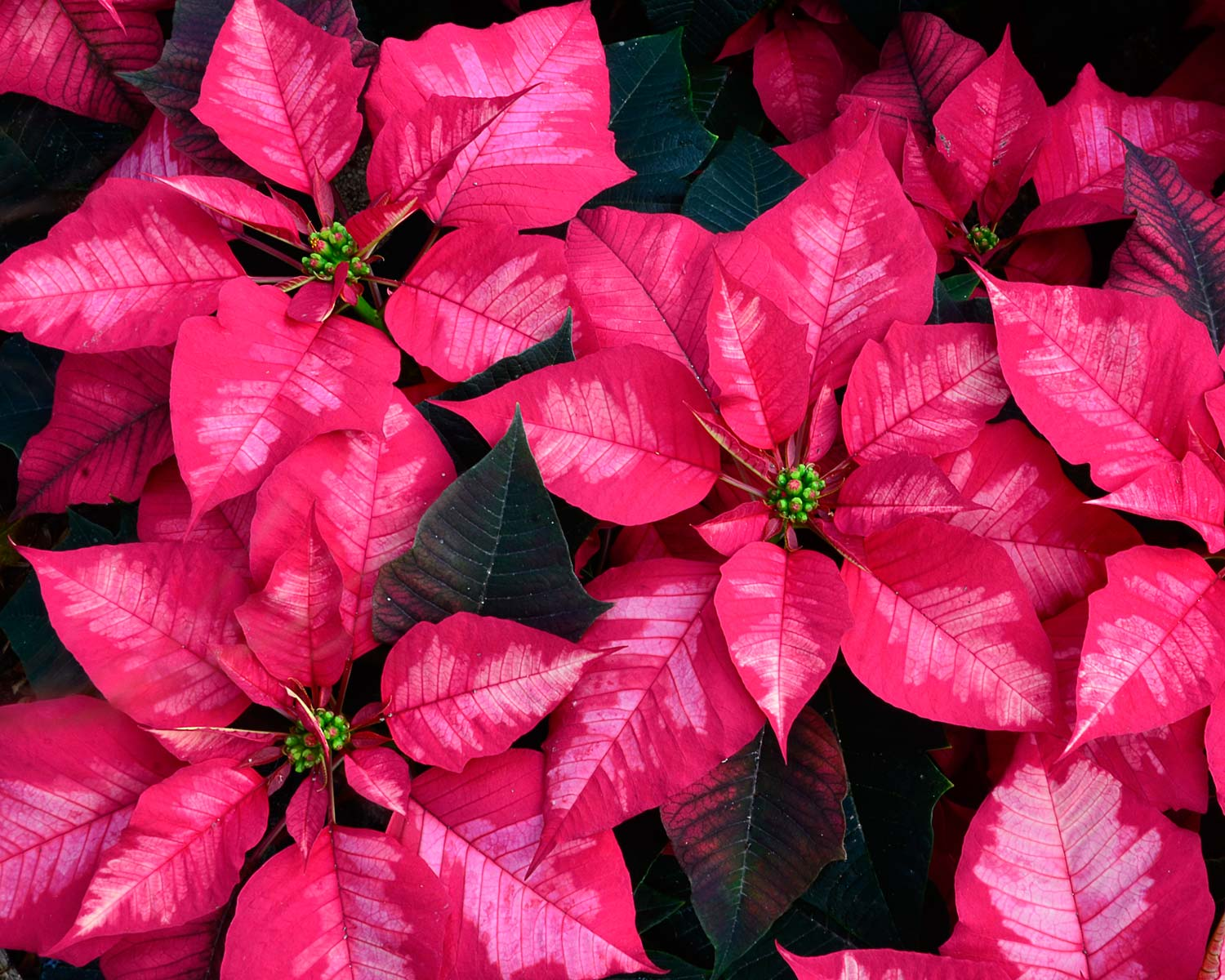 Poinsettia Ice Punch by Jeanne Selep