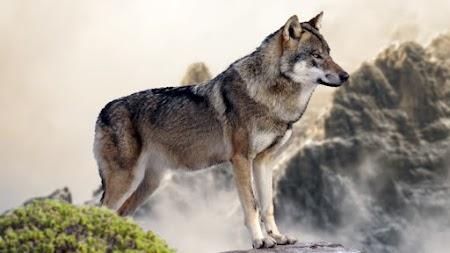Wolf on Mountain