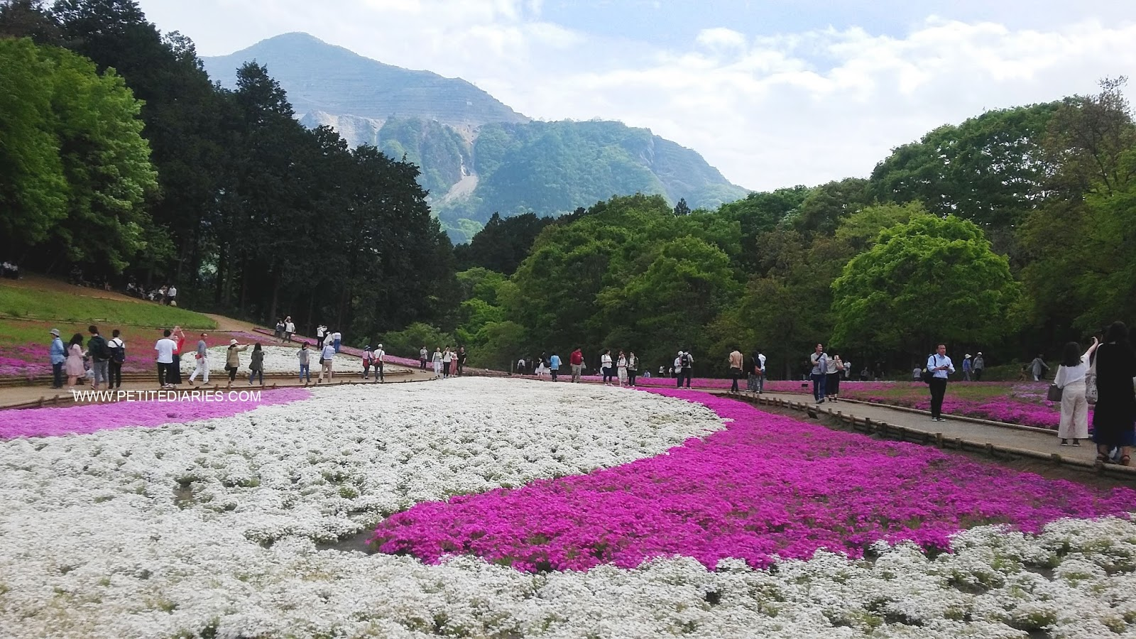 shibasakura moss phlox viewing in japan