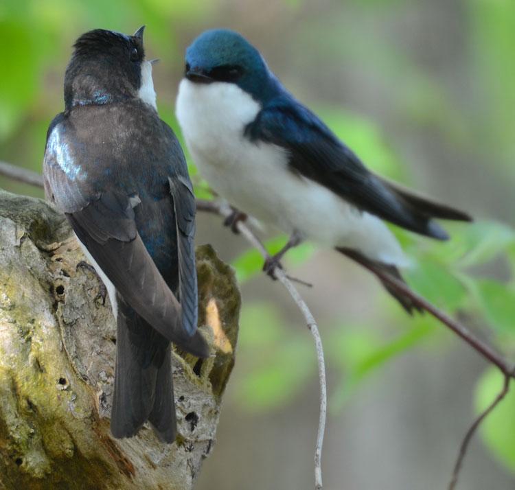 Female Tree Swallow 112