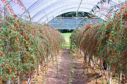Jual Pohon Goji Berry