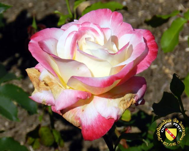 VILLERS-LES-NANCY (54) - La roseraie du Jardin botanique du Montet - Rose Double Delight
