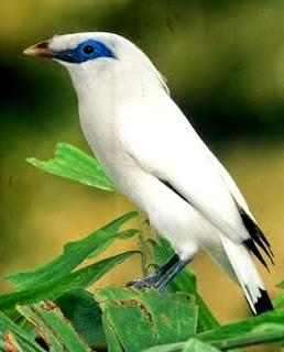 Kumpulan Foto Burung Jalak Putih Jantan Foto Burung Kicau