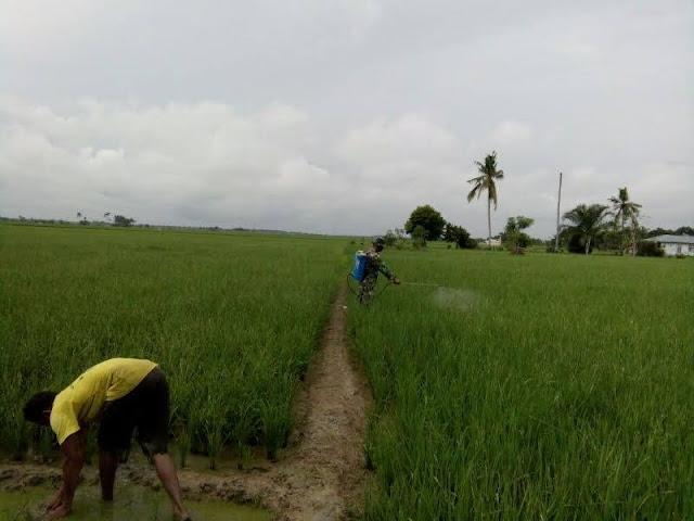 Serda M. Simanjuntak Lakukan Penyemprotan Hama Padi Milik Petani di Desa Perbaungan