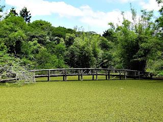 Algas no Lago da Ponte do Jardim Botânico de Porto Alegre
