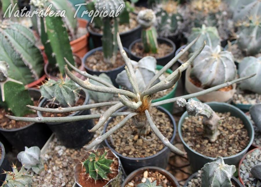 Vista del cactus ornamental Astrophytum caput-medusae