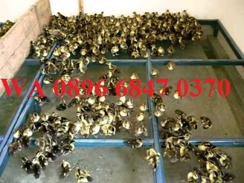 TERPERCAYA WA 0896 6847 0370 Bpk Rohman Jual Bibit Bebek Blora Ternak Harga Terbaru