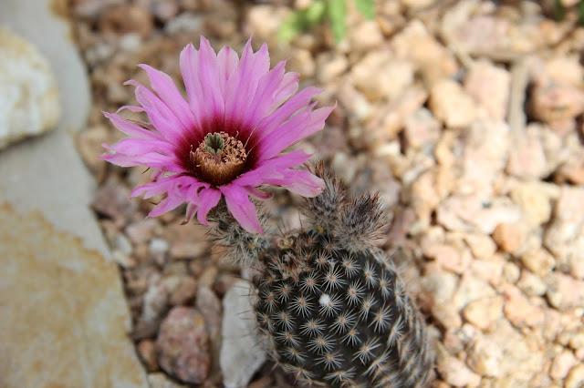 Echinocereus armatus