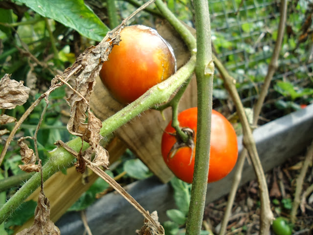 organic tomatoes for the worm wigwam