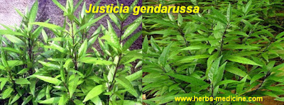 Cough use Justicia gendarussa