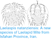 https://sciencythoughts.blogspot.com/2016/05/laelaspis-natanziensis-new-species-of.html