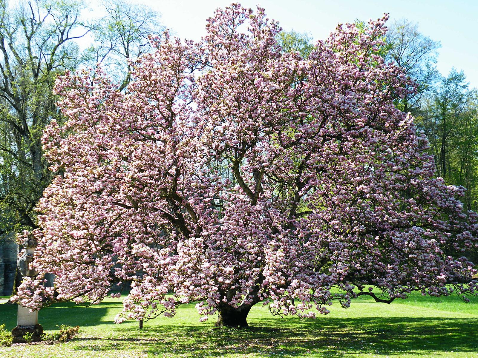 de moi vous le magnolia de troisfontaines arbre de l 39 ann e 2013. Black Bedroom Furniture Sets. Home Design Ideas