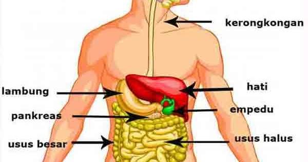 Organ Sistem Pencernaan Pada Manusia