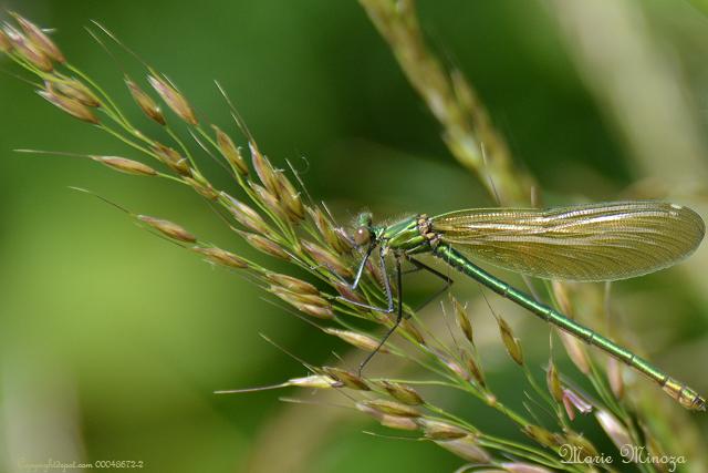Au pays des images et des mots photos balade sur des ailes de libellules - Lade bz ...