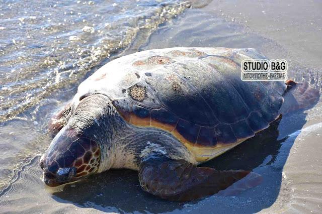 Θαλάσσια χελώνα βρέθηκε νεκρή στη Νέα Κίο (βίντεο)