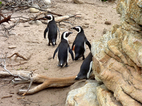 Endangered South African penguins