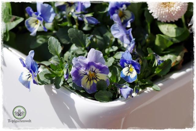 Gartenblog Topfgartenwelt Topfgarten + DIY mit Knagglig (Kiste) und Töpfen viel Platz auf kleinem Raum schaffen - Blumendeko mit Hornveilchen und Bellis passend für den Frühling und Ostern: Osterdeko aus Blumen für den Garten