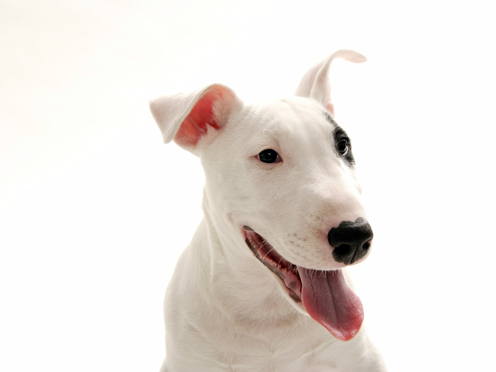 bull terrier picture n 243 s os cachorros no jap 227 o bull terrier 6248