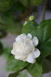 Jasminum sambac Grand Duke of Tuscany
