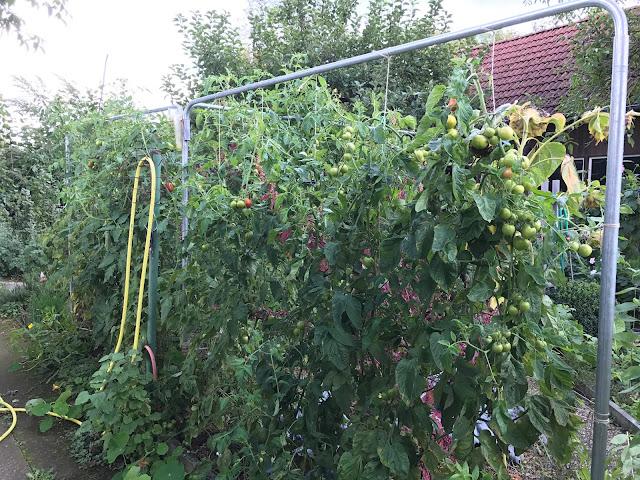Freiland-Tomaten im September (c) by Joachim Wenk