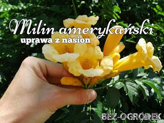 milin amerykański żółte kwiaty