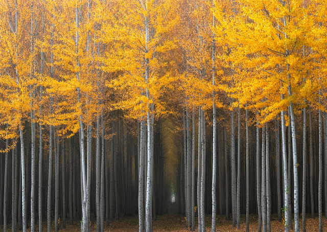 Thick grove of poplar trees, Oregon
