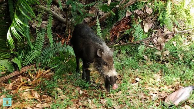 Cerdo barbudo de Borneo en el Parque Nacional de Bako, Malasia