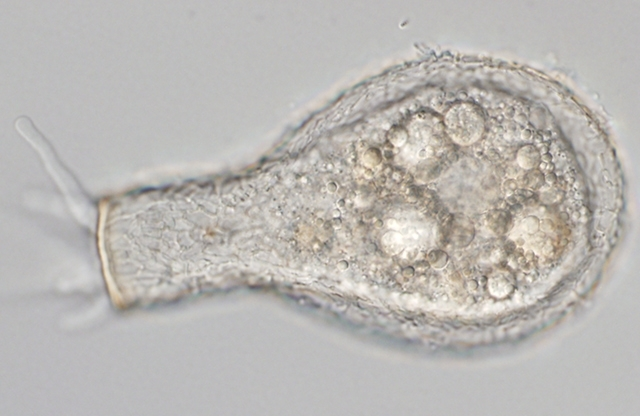 Amoebae diversified at least 750 million years ago, far earlier than expected