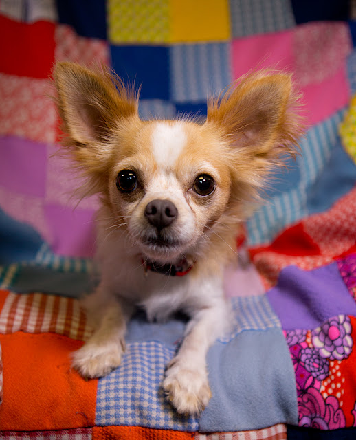 """PENNY"" sweetie Long Haired Chi mix"