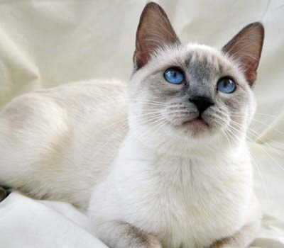 Lilac Point Siamese Cat Singapore Pets