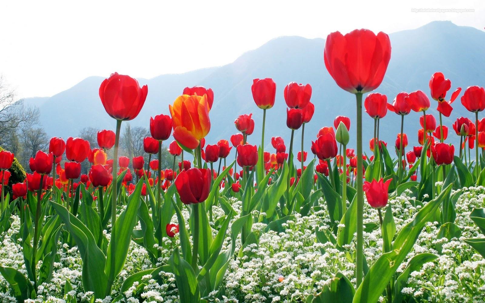 HD Wallpapers: Tulip Hd Wallpapers