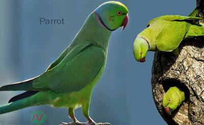 parrot, তোতাপাখি
