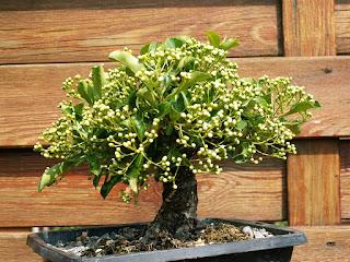 Garden tree, Pyracantha, shohin, blossoms