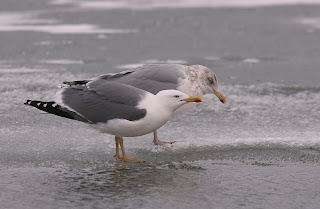 Comparison of Yellow-legged Gull and American Herring Gull