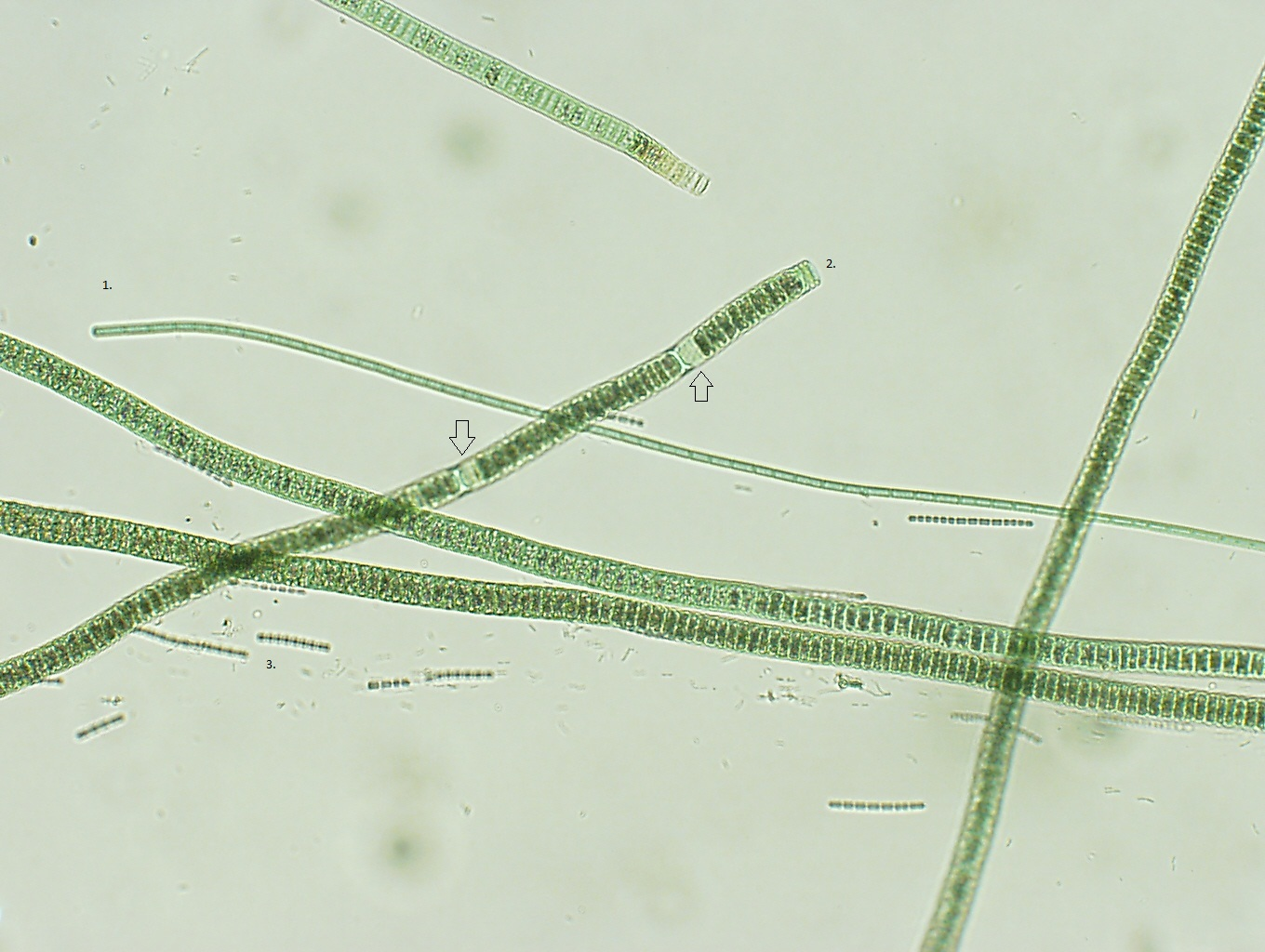 Two Years and Three Months of Cyanobacteria: Chapter XIV ...