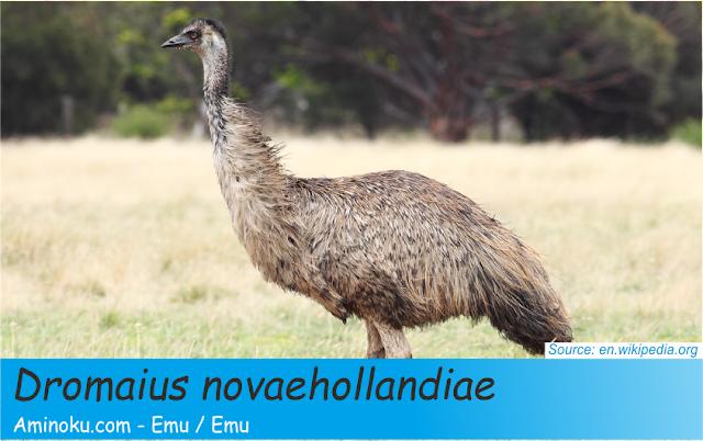 Fakta unik burung emu
