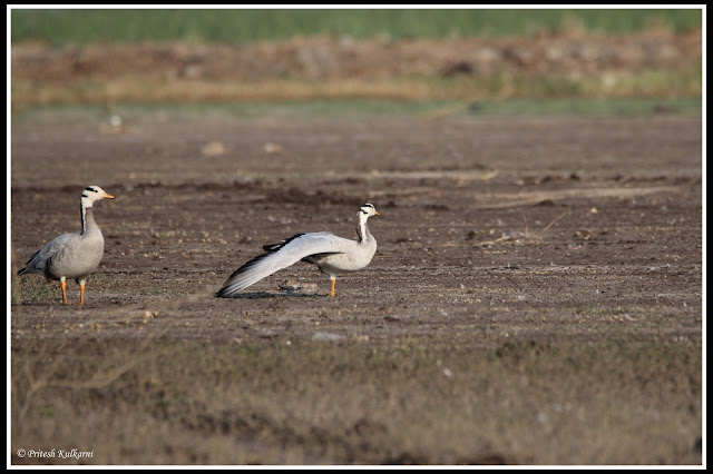 Bar headed goose yoga