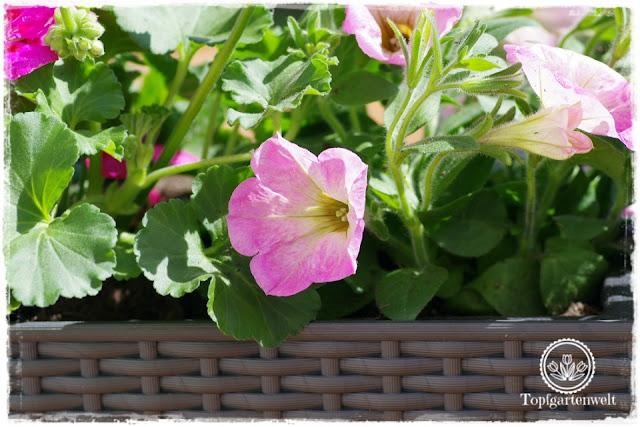 Gartenblog Topfgartenwelt Balkonblumen 2018: Auswahl Balkonblumen für unterschiedliche Standorte