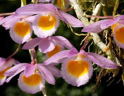 Dendrobium loddigesii care and culture