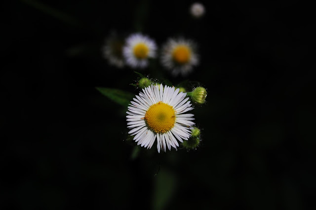 Image result for john piippo daisies