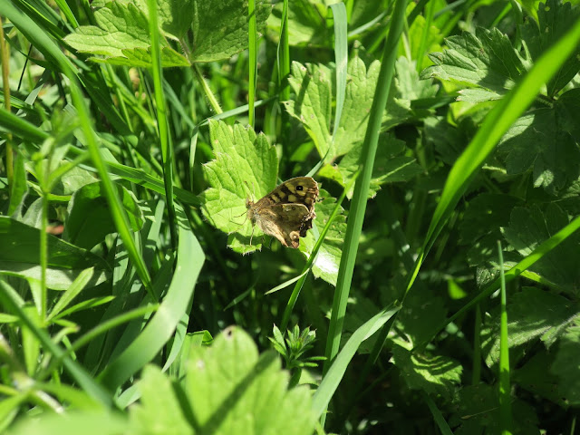 Speckled Wood Butterfly on Buttercup Leaf (?)