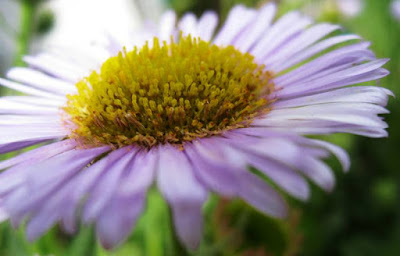 Close up of purple daisy with yellow centr