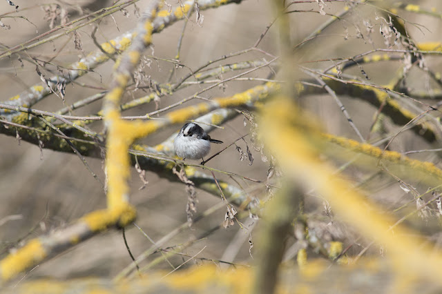 Long-tailed Tit in hiding