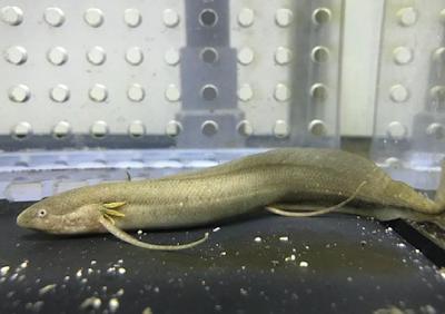 Lungfish Salah Satu Ikan Air Tawar Purba
