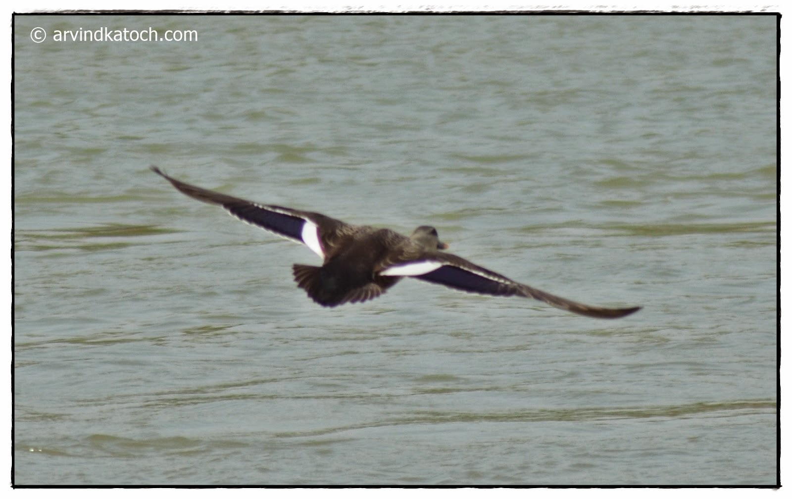 Spot-billed Duck, Flying