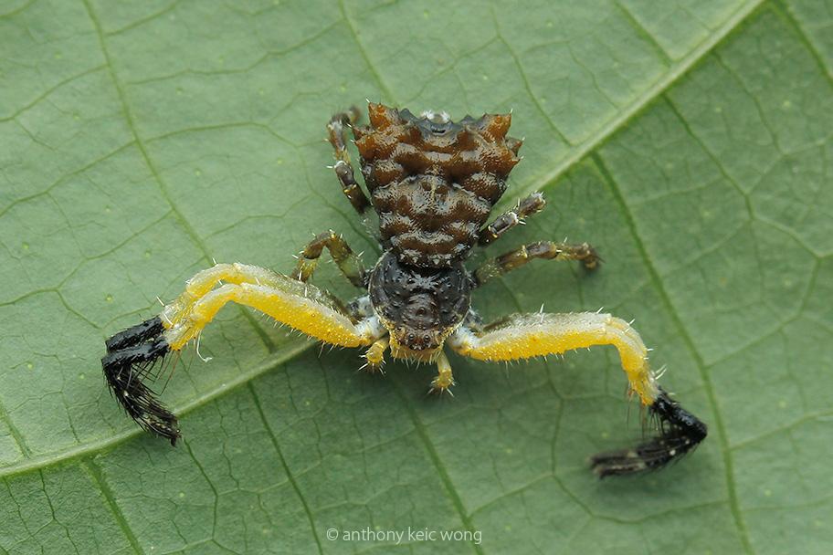Bird dung crab spider - photo#55