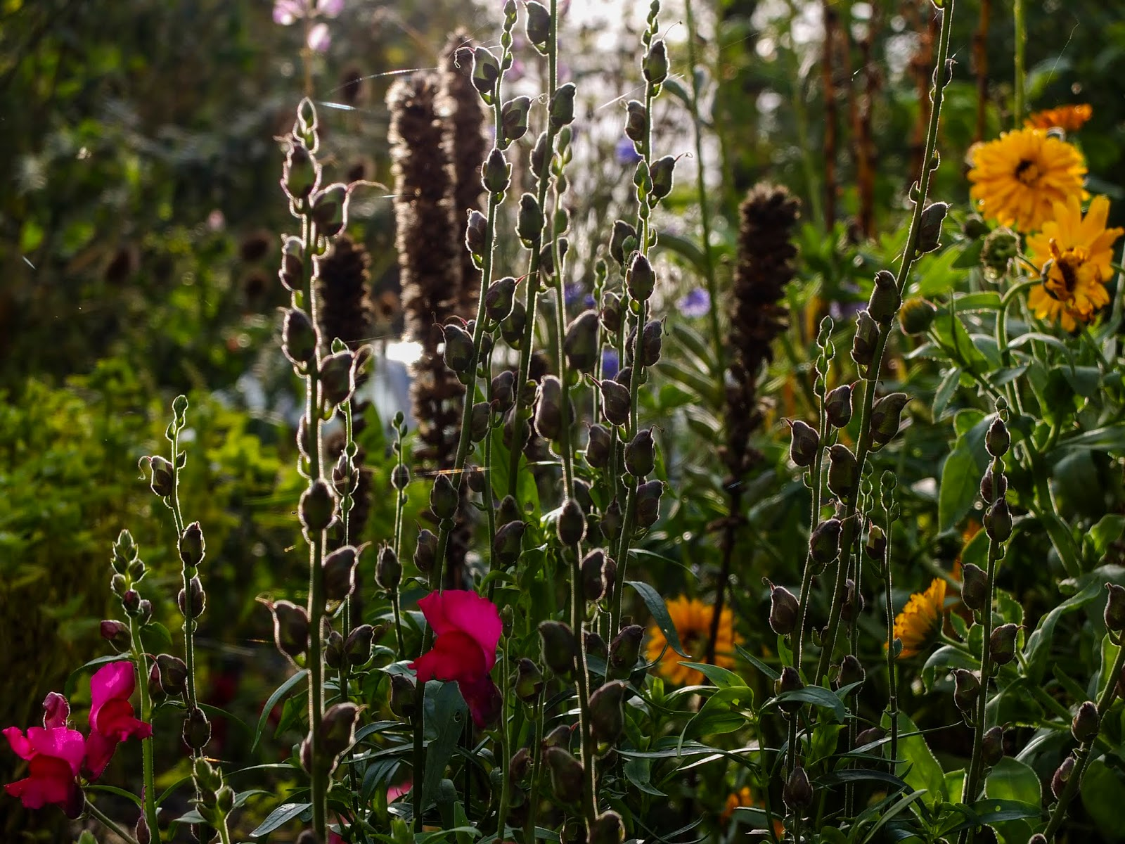 Sunset light on a flower garden of pink Snapdragons, their seed pods and yellow Calendulas.