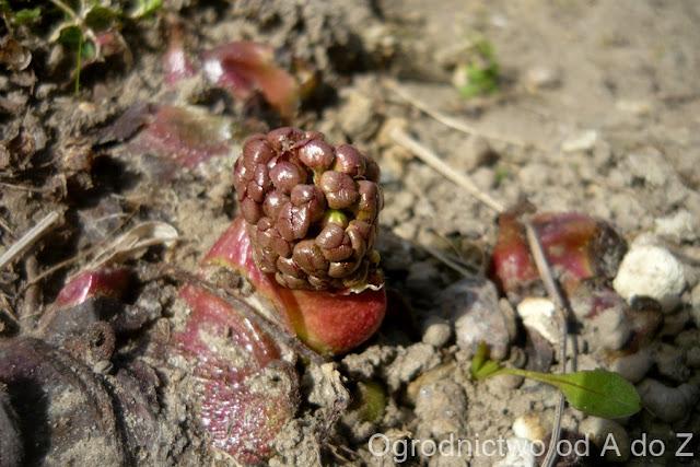 Peltiphyllum peltatum